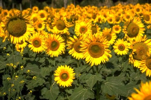Special Occasions: Sunflowers!